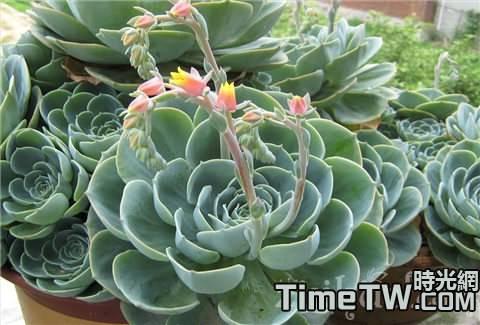 寶石花的生長習性、繁殖方法、盆栽方法 如何養殖寶石花
