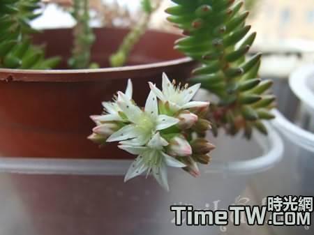 白花小松怎麼養,養護要點是什麼,有什麼價值,如何繁殖的!