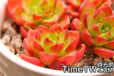 烈焰蒂亞怎麼養,夏季如何養護,繁殖技術是什麼!