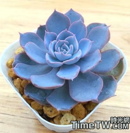 藍石蓮開花會死嗎?養殖技術是什麼,葉子下垂應該如何挽救?