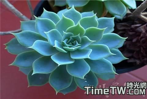 家庭盆栽寶石花該怎麼養護,需要知道的注意事項有哪些
