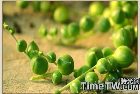 珍珠吊蘭的繁殖方式有哪些?  珍珠吊蘭的病蟲防治的方法有哪些?