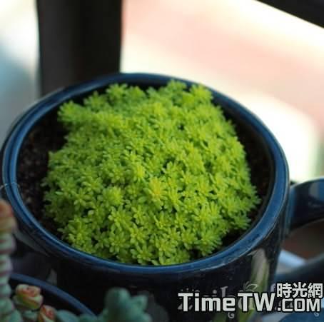 黃金萬年草它是怎樣繁殖的,在四季中如何養護呀