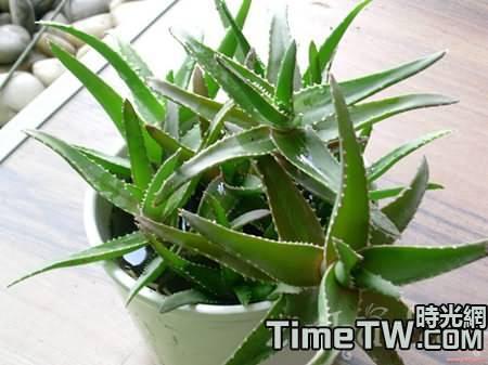 想要蘆薈快速繁殖的小竅門是什麼?一般採取的措施都有哪些?