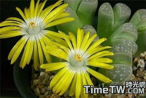 生石花怎樣繁殖,有哪些繁殖方法,以及由哪些注意事項