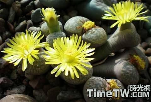 生石花的生長習性是什麼,有哪些曾經病蟲害,夏季怎麼管理