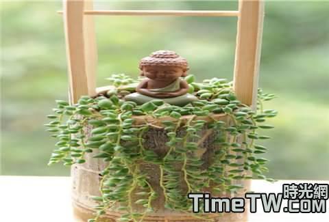 不得不知的珍珠吊蘭的一些繁殖方式的具體介紹