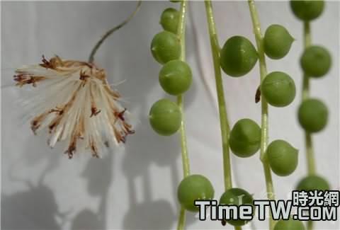 珍珠吊蘭的生長習性以及養護過程中的注意事項