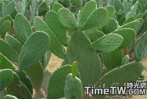 仙人掌科植物的幾項常見誤解的詳細的介紹和經驗總結