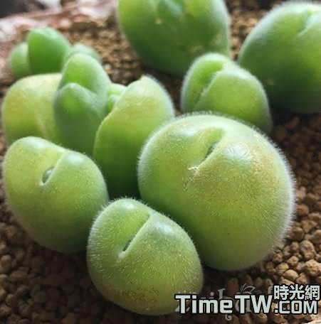 多肉毛翠滴玉的養殖方法,以及在養護中的注意事項