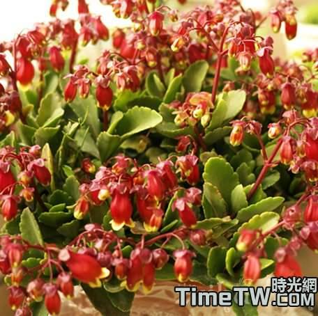 宮燈長壽花的繁殖方法介紹,以及度夏技巧介紹