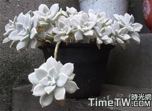寶石花的生長習性,它的功效與作用,它的花語