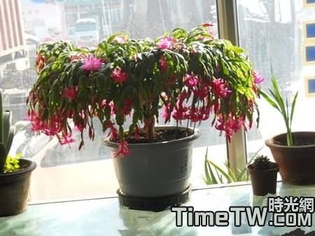 蟹爪蘭在養殖過程中常見的6大疑問