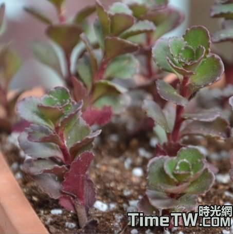 多肉小球玫瑰的養殖方法介紹,以及養殖中的注意事項