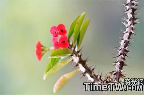 解決虎刺梅不開花的方法,虎刺梅的繁殖方式總結
