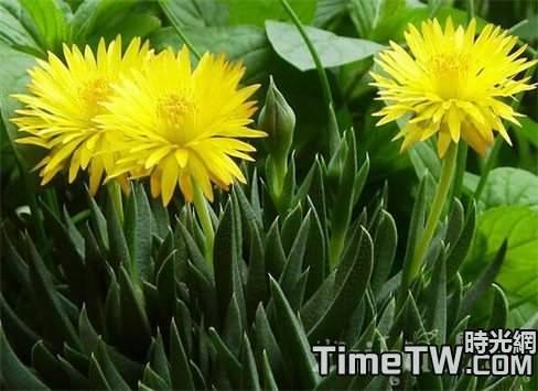 黃花照波的簡單介紹  黃花照波的種植方法詳細介紹