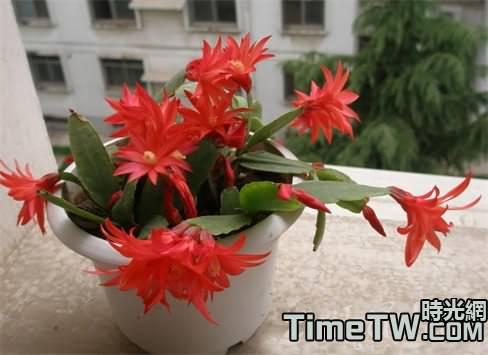 假曇花的生長習性  假曇花的種植方法以及注意事項