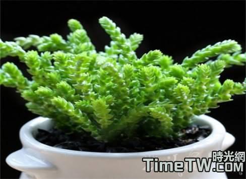 若綠的簡單介紹  若綠的種植方法以及注意事項