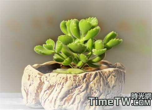 多肉植物的繁殖方法有很多種   「空氣扦插法」種植多肉植物