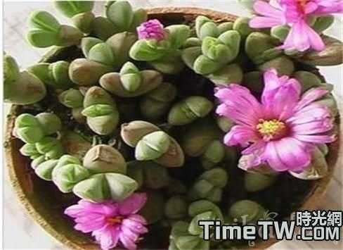 多肉鹿角海棠的繁殖方法,以及它的葉片發皺的原因
