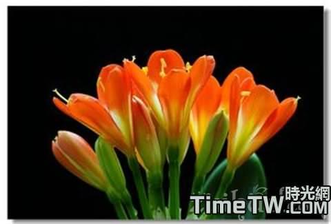 使君子蘭的葉子更齊更美麗的方法和技巧的介紹