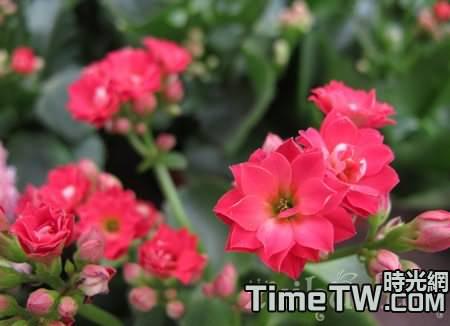 長壽花是否可以在夏天進行換盆