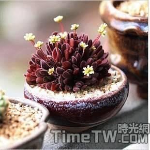 夢椿 - Crassula pubescens