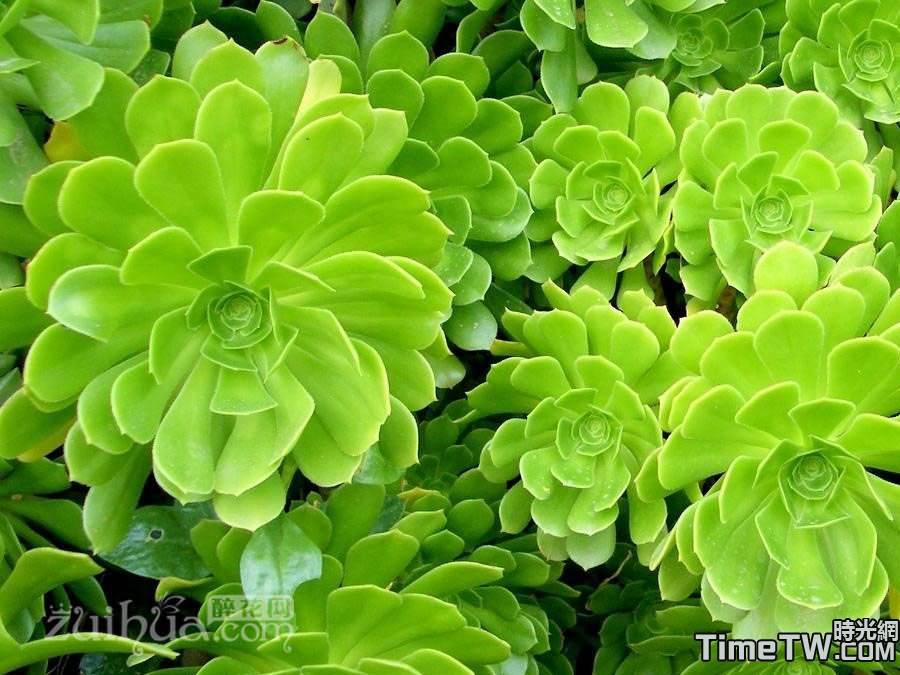 綠法師 - Aeonium arboreum Webb & Berthel. 1840