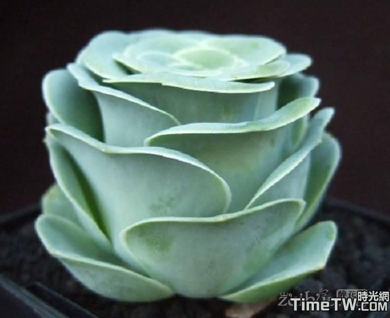金絲雀 - Greenovia aureum (C.Sm. ex Hornem.) T.H.M.Mes