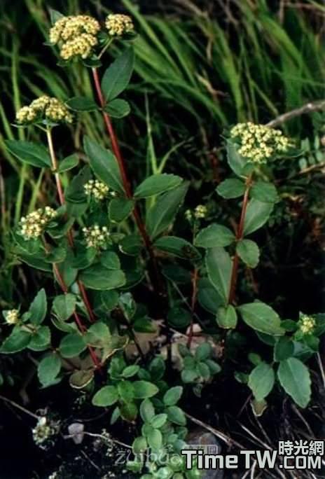 珠芽八寶、珠萌景天、零余子景天 Hylotelephium viviparum (Maxim.) H. Ohba