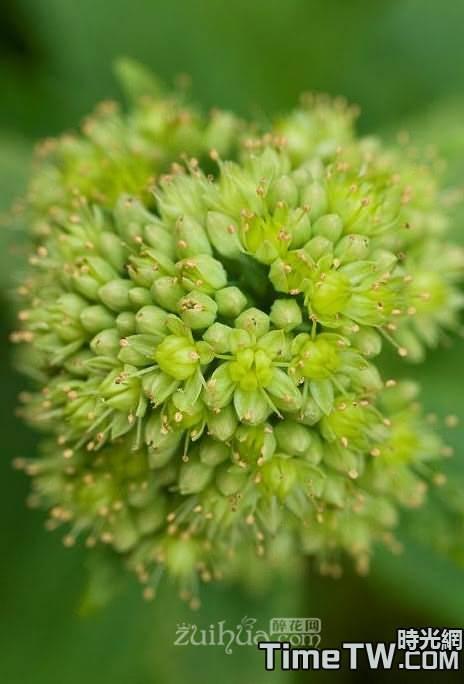 輪葉八寶、輪葉景天、 一代宗 、還魂草、 巖三七、 胡豆七 Hylotelephium verticillatum (L.) H. Ohba