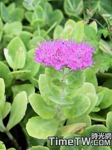 長藥八寶 - Hylotelephium spectabile (Bor.) H. Ohba