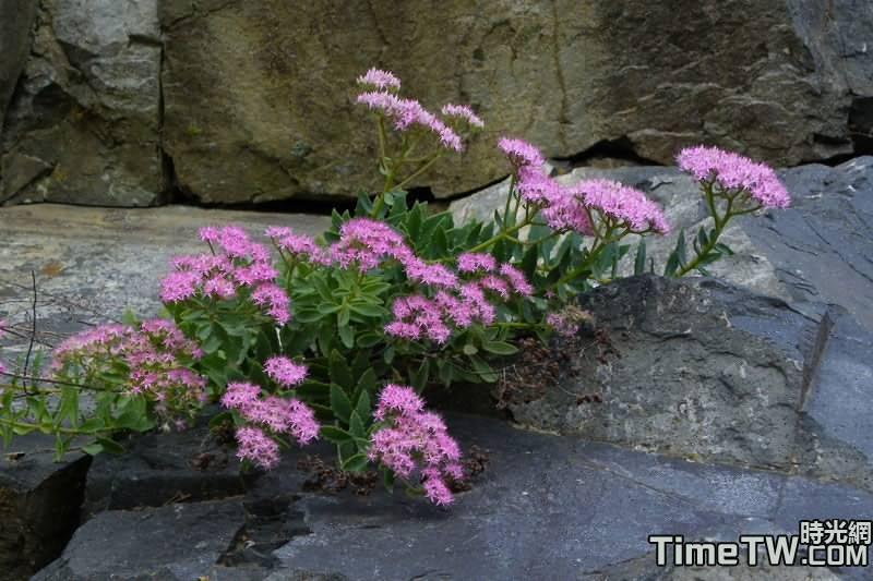 紫花八寶、名金景天、紫花景天 Hylotelephium mingjinianum (S.H.Fu) H.Ohba 1977
