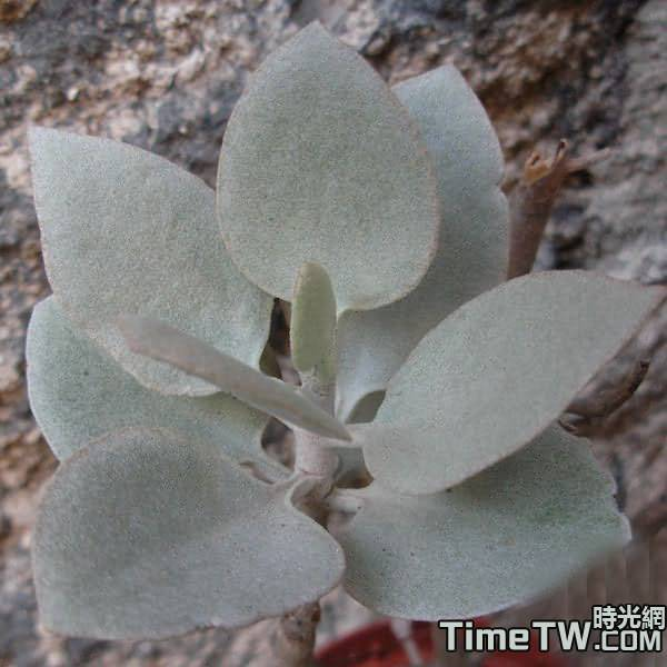 銀之太古 - Kalanchoe brachyloba