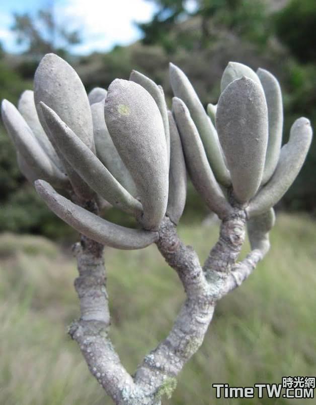 蒼白旗 - Kalanchoe integrifolia Baker 1886
