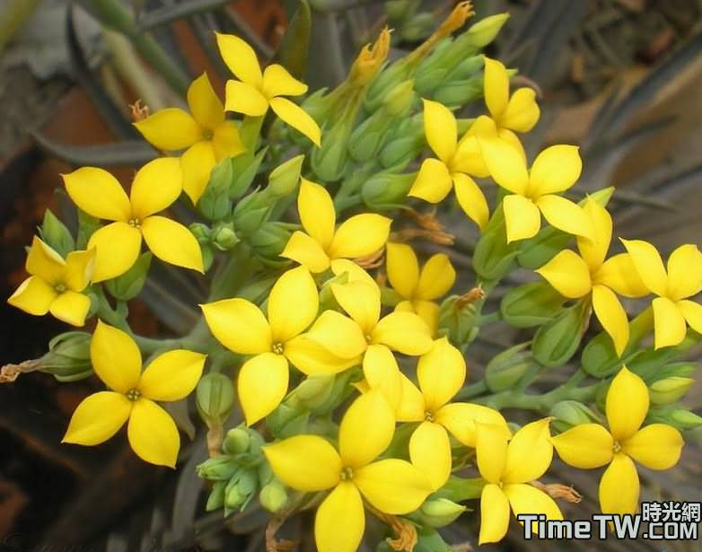 裂葉伽藍菜 - Kalanchoe laciniata (L.) DC. 1802