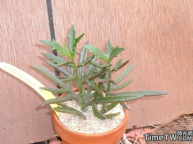 魚叉葉長壽 - Kalanchoe teretifolia