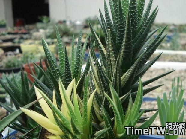 鷹爪十二卷錦 Haworthia reinwardtii variegada