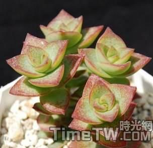 星乙女錦 Crassula perforata variegata