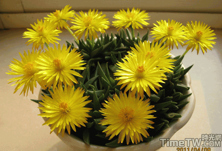 黃花照波、照波 - Bergeranthus multiceps