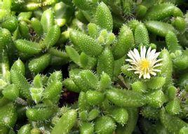 雷童、刺葉露子花、花笠 Delosperma echinatum