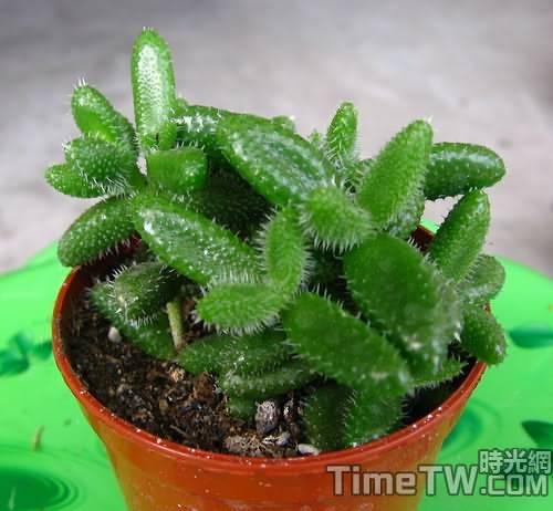 雷童、刺葉露子花、花笠 - Delosperma echinatum