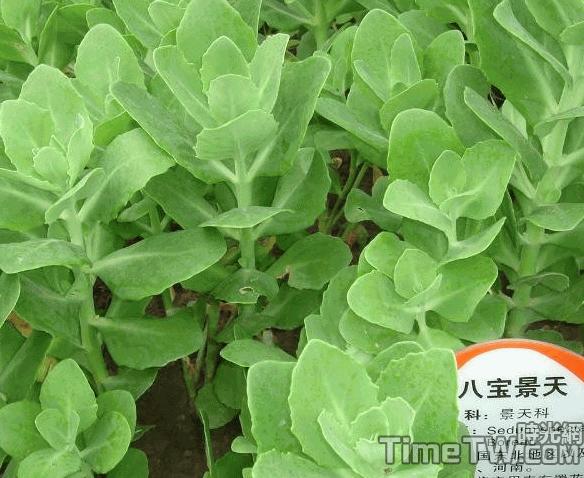 八寶景天、八寶、活血三七、白花蠍子草 - Hylotelephium erythrostictum (Miq.) H. Ohba