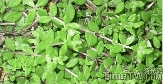 垂盆草 - Sedum sarmentosum Bunge