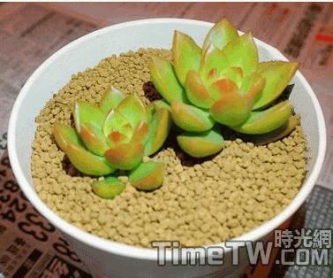 黃麗 - Sedum adolphii