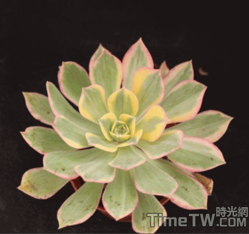 花葉寒月夜/燦爛 Aeonium subplanum f. variegata