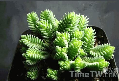 方鱗綠塔 - Crassula pyramidalis Thunb.Y