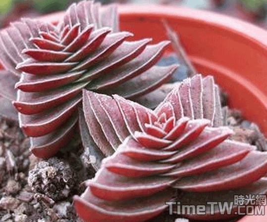 茜之塔 - Crassula corymbulosa