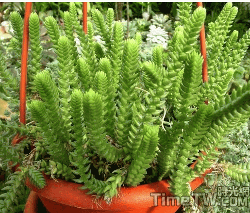 若綠 - Crassula muscosa