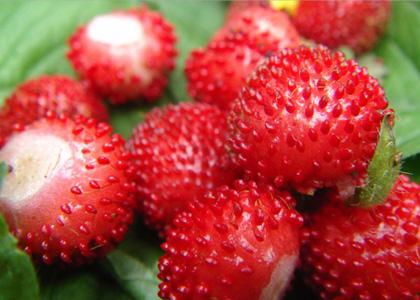 野草莓能吃嗎